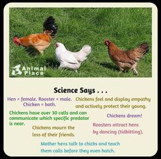 Chicken facts!!!