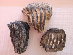 Fossilized Colombian Mammoth teeth partials.