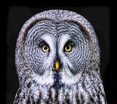 Great Grey Owl on Black | Flickr - Photo Sharing!
