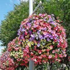Hanging Baskets --wave petunias