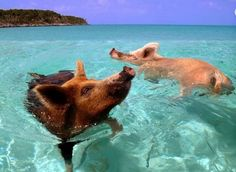 The secret is out! There's an island in The Bahamas where wild pigs frolic with humans.