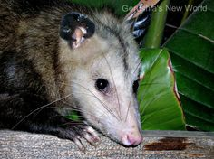 Evening Visitor  photograph photography opossum by GerushiasGarden