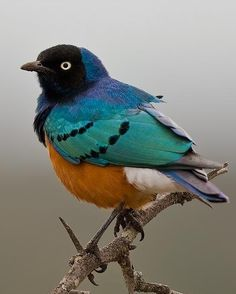 The Superb Starling (Lamprotornis superbus) is a member of the starling family…