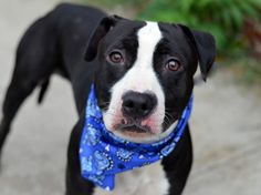 TO BE DESTROYED 9/9/14 Brooklyn Center -P  My name is KING. My Animal ID # is A1012319. I am a male black and white pit bull mix. The shelter thinks I am about 2 YEARS old.  I came in the shelter as a OWNER SUR on 08/29/2014 from NY 11233, owner surrender reason stated was NYCHA BAN.   MOST RECENT MEDICAL INFORMATION AND WEIGHT 09/07/2014 Exam Type CAGE EXAM - Medical Rating is 3 C - MAJOR CONDITIONS , Behavior Rating is NONE, Weight 49.0 LBS.