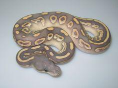 Hypo Savannah ball python