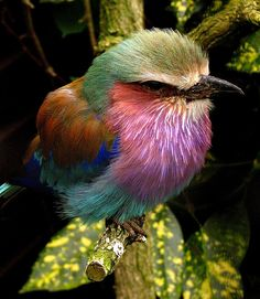 The Lilac-breasted roller is a spectacular species of bird, not only because of its breathtaking plumage but because it has the most epic mating dance ever. Pretty Birds, Love Birds, Beautiful Birds, Small Birds, Exotic Birds, Colorful Birds, Lilac Breasted Roller, Architecture Tattoo, Kinds Of Birds