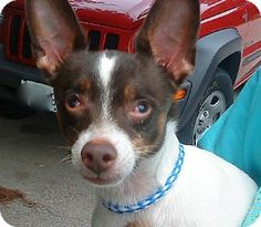 Providence, RI - Rat Terrier Mix. Meet Stevie in ME $299 a Dog for Adoption.