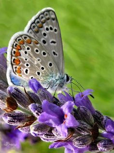 Adonis Blue Butterfly Of Monteriggioni by Jennie Breeze Butterfly Kisses, Butterfly Flowers, Flowers Nature, Blue Butterfly, Butterfly Wings, Beautiful Butterflies, Beautiful Flowers, Language Of Flowers, Flower Pictures