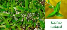 kalisie vonava ucinky na zdravi co leci pouziti uzivani vyuziti 1974 otevreni Herbs, Flora, Plants, Gardening, Fitness, Lawn And Garden, Herb, Plant, Planets