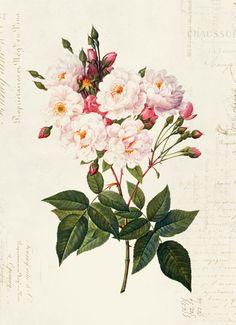 Vintage Roses, French Vintage, Vintage Floral, Articles Vintage, Antique Illustration, Vintage Ephemera, Paper Texture, White Roses, Etsy Vintage