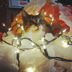 Kitty cat Christmas lights photo idea!! I don't think my kitty would cooperate for this pose...