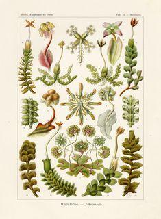 Art Forms in Nature: Prints of Ernst Haeckel Botanical Drawings, Botanical Illustration, Botanical Prints, Antique Illustration, Botanical Posters, Botanical Decor, Science Illustration, Flower Drawings, Ernst Haeckel Art