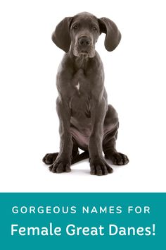 Looking for a name for your girl Great Dane? Try checking this list that has hundreds of names for inspiration! Great Dane Names Female, Puppies Names Female, Female Names, Puppy Names, Merle Great Danes, Black Great Danes, Brindle Great Dane, Great Dane Puppy, Great Dane Colors