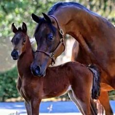 Mare and foal. Arabian horse that arched neck . Most Beautiful Animals, Beautiful Horses, Beautiful Creatures, Beautiful Family, Horse Photos, Horse Pictures, Animal Pictures, Animals And Pets, Cute Animals