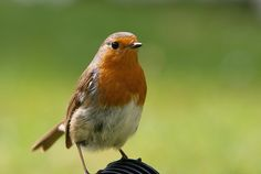 That Robin again! | Explore PhotoToasty's photos on Flickr. … | Flickr - Photo Sharing!