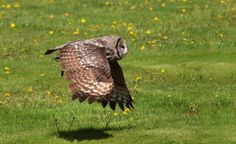 Great Grey Owl by Grit Ende on 500px