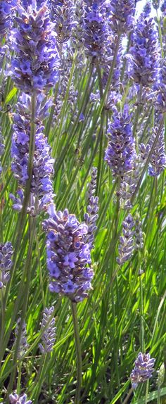 "Lavender, Vera  Unit Price: $2.00  One packet will plant 100 sq ft when using 18"" spacing in the bed.   P Zones 5-9    This perennial grows to a 3' high hardy evergreen shrub."