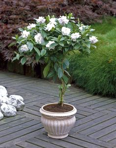 These Gardenia Trees are a great addition to any patio- they fill up your yard with a sweet fragrance, but require minimal maintenance! #BrighterBlooms