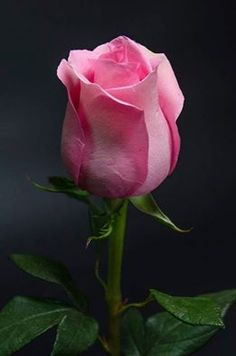 The key issue is to pick a rose which you find beautiful, and that suits your garden. The rose is a kind of flowering shrub. All Flowers, Amazing Flowers, Beautiful Roses, My Flower, Beautiful Flowers, Flower Beds, Foto Rose, Ronsard Rose, Bloom