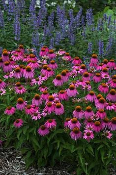 Coneflower/Echinacea is an old favorite and can be completely neglected, they will grow anywhere in full sun. Even in poor soil. They also spread nicely. Looks nicely when paired with Russian sage - blue and pink Flowers Perennials, Planting Flowers, Full Sun Perennials, Full Sun Garden, Parc Floral, Outdoor Plants, Backyard Plants, Flower Beds, Dream Garden