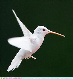 Albino hummingbird - WOW