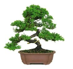 "[powr-countdown-timer label=""Only 4 Days Left""] The Green Mound Juniper Bonsai Tree from Nursery Tree Wholesalers is by far the most popular bonsai in the United States. When most people think of a ""b"