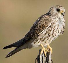 Lesser Kestrel Falco naumanni - Google zoeken