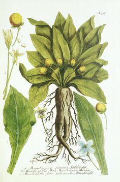 Mandrake Plant, Historical Artwork