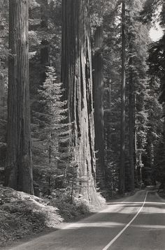 """ANSEL ADAMS  1902 - 1984 Redwoods, """"Avenue of the Giants"""" Date:ca. 1938"""