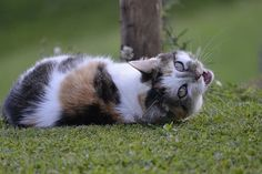Adorable cutest cat breeds with a heart-shaped patch is about to sweep you off your cuteness-loving feet.Calling all cat lovers