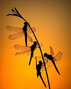 Dragonflies in silhouette. Dragonfly Art, Dragonfly Tattoo, Dragonfly Painting, Dragonfly Meaning, Flying Insects, Bugs And Insects, Foto Macro, Beautiful Bugs, Tier Fotos