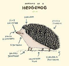 Anatomy of a Hedgehog by Sophie Corrigan