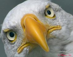 Bald eagle, close up of its face. Wish I had taken this photo and had a chance to meet one (tame, of course)! Eagle Eye, Eagle Wings, Animal Faces, Birds Of Prey, Bird Feathers, Beautiful Birds, Beautiful Creatures, Pet Birds, Birds 2
