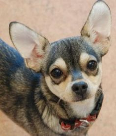 ♥CHI♥ 26 Deer Type Chihuahua | Types Of Chihuahuas A problem since chihuahuas