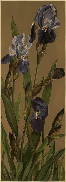 H. K. Ely, Irises  L. Prang & Co. (publisher) 1861-1897 (approximate)