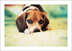 Beagle. ¡Esos ojitos! me recuerda a Muñeca @Carolina Figueroa ; ) haha! Love