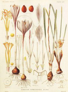 Crocus botanical illustration