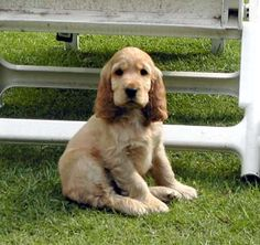 """Outstanding """"english cocker spaniel"""" information is readily available on our web pages. Take a look and you wont be sorry you did. English Cocker Spaniel, Spaniel Puppies, Cockapoo, Pet Dogs, Doggies, Puppy Love, Cute Puppies, Cute Animals, Spaniels"""