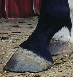 What does a healthy hoof look like?