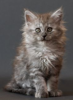 Maine coon kitten Chaska by ropo-art