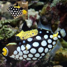 This is a Trigger fish from Indonesia.  I think they are beautiful but I can't have one because they eat the things in my tank. :(