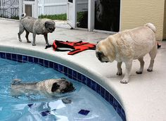 Too funny!!  I thought pugs didn't swim??  Someone told me that they are like little piggies...short legs and small nose...can't swim??:)
