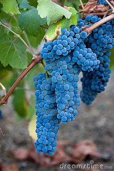 uvas para vino las encuentran cerca de Ensenada en la ruta del vino por Tecate y…