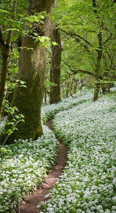 Footpath through the Wild Garlic - Milton Wood Somerset, England