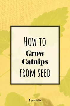 "Catnip can be a little tricky to get to germinate, so to get the best results, use seed stratification. In other words, place the seeds in a freezer for 24hrs, then soak them in water for another 24hrs, after which they'll be ready for planting. Plant them evenly 1/2"" deep in regular well-draining potting mix in a bright spot, ideally receiving 6+ hours of sunlight or under a grow light, and don't overwater. Read on at Plantflix.com... Gardening Supplies, Gardening Tips, Growing Catnip, Garden Art, Garden Design, Apartment Balcony Decorating, Seed Germination, Garden Projects, Garden Ideas"