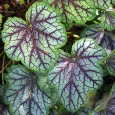 Heuchera 'Green Spice' (Coral bells) - Fine Gardening Plant Guide
