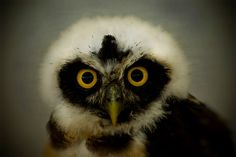 live african owl
