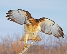 Secret life of the red-tailed hawk