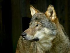 Wolf http://fc-foto.de/37431333