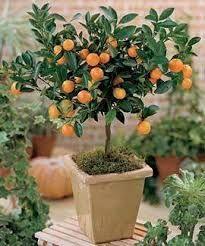 como cultivar frutas em vasos - Pesquisa Google